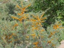 L'arbusto degli olivelli spinosi con i frutti arancio immagine stock libera da diritti