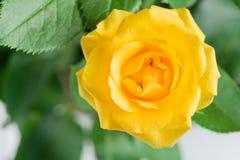 L'arbusto giallo è aumentato su un fondo floreale Fotografia Stock