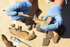 L'archéologue nettoie soigneusement avec un grattoir une découverte - une partie de la mâchoire du ` s d'ours photo libre de droits