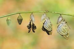 L'archiduc commun d'isolement a buttterfly émergé de la chrysalide Lex Image libre de droits