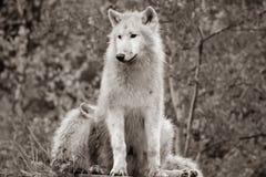 L'arctosportrait arctique blanc noir et blanc de lupus de Canis de loup a le beau golde photographie stock