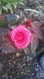 L'ardore porpora è aumentato germoglio con le foglie fotografia stock