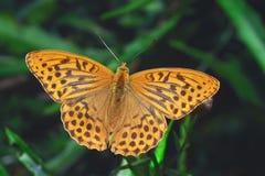 l'argento del fritillary della farfalla ha lavato Immagini Stock Libere da Diritti