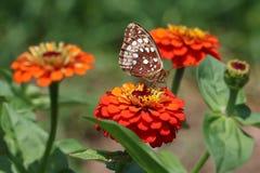 L'argento ha confinato la farfalla della fritillaria sugli Zinnias arancio Fotografia Stock
