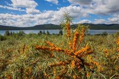 L'argousier s'embranche avec le ciel et le lac de nuage à l'arrière-plan en parc national de nature de Burabai, Kazakhstan Photo stock