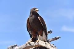 L'Arizona Harris Hawk 2 Image stock