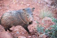 L'Arizona Javelina Photo stock