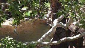 L'Arizona, roche de glissière, vue d'A d'une partie calme de crique de chêne en tant que vus arbres banque de vidéos