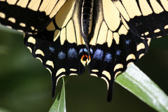 L'arrière de Swallowtail Photographie stock libre de droits