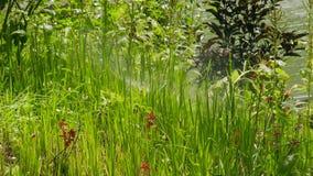 L'arroseuse de pelouse irriguant avec l'herbe verte de l'eau et les fleurs en été font du jardinage Fermez-vous vers le haut de l clips vidéos