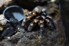 L'arthropode noir avec la rayure blanche a appelé la tarentule de famille de Theraphosidae photos stock