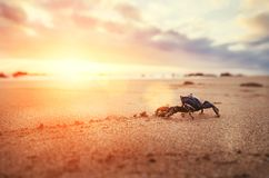 L'artropodo divertente del granchio considera l'alba nel tempo di primo mattino immagine stock libera da diritti