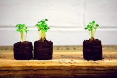 L'Arugula pousse dans des démarreurs de jeune plante avec le mur de briques blanc (deux plus un horizontal) Photographie stock