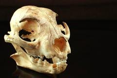 L'asiatico goldden il cranio del gatto su fondo nero Fotografia Stock Libera da Diritti