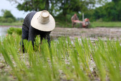 L'asiatico sta piantando il riso nel campo Immagine Stock