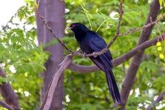 L'Asiatique Koel se reposant sur une branche d'arbre photographie stock libre de droits