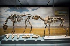 L'Asie Chine, musée de Tianjin d'histoire naturelle, squelette complet photographie stock
