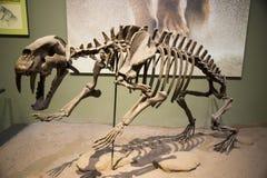 L'Asie Chine, musée de Tianjin d'histoire naturelle, squelette complet photo libre de droits
