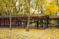 L'Asie Chine, Pékin, parc de Zhongshan, promenade, arbre de ginkgo Photo stock