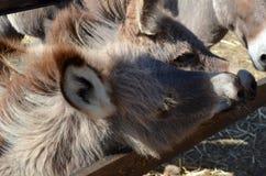 L'asino dietro un di legno recinta la Sardegna Immagini Stock Libere da Diritti