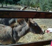 L'asino dietro un di legno recinta la Sardegna Fotografia Stock Libera da Diritti