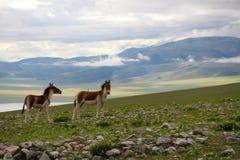 L'asino selvaggio del lago nel Tibet Fotografie Stock Libere da Diritti