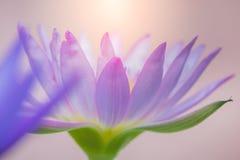 L'aspect d'une fleur de lotus pourpre est un beau Images stock