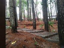 L'aspect des forêts de pin qui peuvent être employées comme plan de vacances photographie stock libre de droits