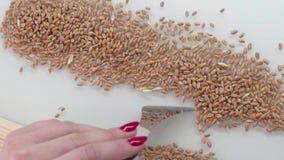 L'assistant de laboratoire dans le laboratoire de l'analyse de culture de nourriture à examiner génétiquement a modifié la graine clips vidéos
