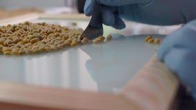 L'assistant de laboratoire dans le laboratoire de l'analyse de culture de nourriture à examiner génétiquement a modifié la graine banque de vidéos