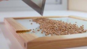L'assistant de laboratoire dans le laboratoire verse des graines pour examiner génétiquement modifié clips vidéos