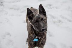 L'associé de disposé, un chien croisé de race de berger belge regarde affectueusement la caméra photo stock