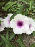 L'asta del fiore di ipomea Immagine Stock