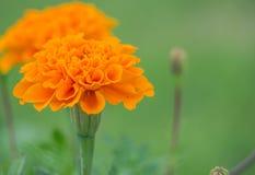 L'aster arancio fiorisce nel giardino come fondo Fotografia Stock