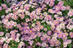 L'aster fiorisce il alpinus dell'aster Immagini Stock