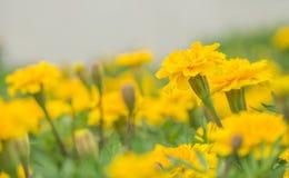 L'aster giallo fiorisce nel giardino come fondo Immagini Stock Libere da Diritti