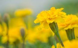 L'aster giallo fiorisce nel giardino come fondo tagete Immagini Stock Libere da Diritti