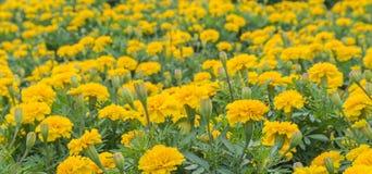 L'aster giallo fiorisce nel giardino come fondo tagete Fotografia Stock