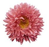 L'aster rose de fleur sur un blanc a isolé le fond avec le chemin de coupure Fleurissez pour la conception, texture, carte postal Image libre de droits