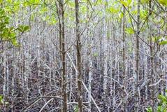 L'atmosfera nella foresta della mangrovia quando il fango è così nero dopo i rai immagini stock