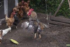 L'atteggiamento di combattimento del gallo difende i suoi polli immagine stock libera da diritti