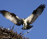 L'atterraggio del Osprey nel nido traversa fuori Immagini Stock