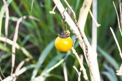 L'aubergine cuite est une boule jaune développée avec des méthodes organiques photo libre de droits
