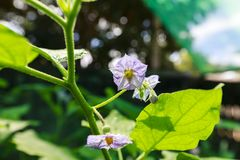L'aubergine de fleurs Photo stock