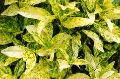 L'aucuba, un arbre avec la beauté de ses feuilles vert jaunâtre colorées et variées Image stock