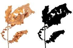 L'aulne a séché des feuilles d'isolement sur le fond blanc avec l'alpha masque noir photos libres de droits