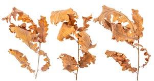 L'aulne a séché des feuilles d'isolement sur le fond blanc images libres de droits