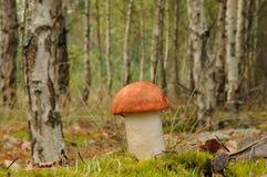 L'aurantiacum de Leccinum, généralement appelé le rouge a couvert le champignon de tige de scaber Images libres de droits