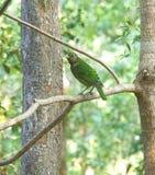 L'Australia Cat Bird Wildlife nel Queensland Fotografia Stock