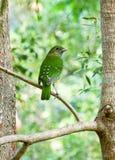 L'Australia Cat Bird Wildlife nel Queensland che guarda indietro Fotografia Stock Libera da Diritti